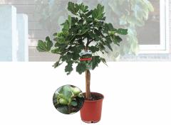 Winterharde vijgenboom- Ficus Carica