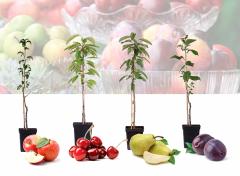 4 Winterharde fruitbomen: Kers, Pruim, Appel en Peer