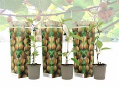 Set van 3 winterharde kiwi planten